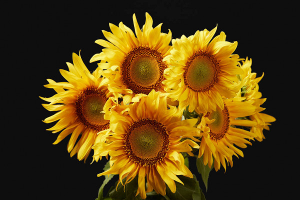 Beautiful Bright Yellow Sunflower Bouquet Isolated Black — стоковое фото