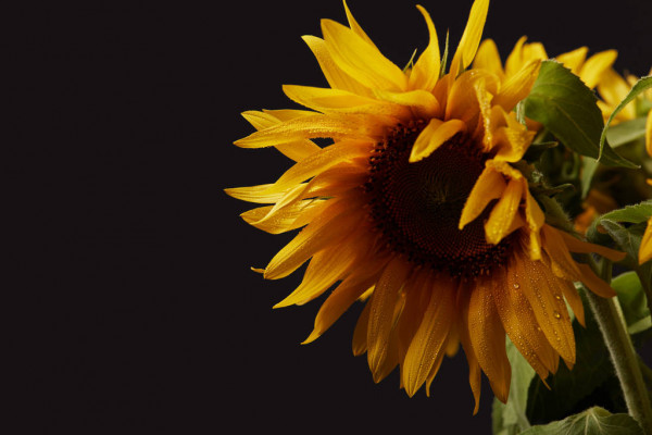 Beautiful Bouquet Yellow Summer Sunflowers Isolated Black — стоковое фото