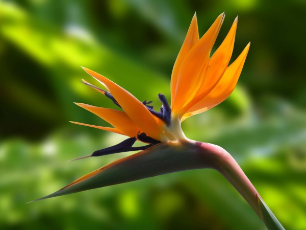 Flower-Strelitzia-Wallpaper-3840x2880